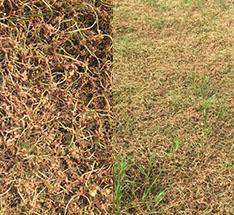百慕大草坪除白三叶等恶性阔叶杂草